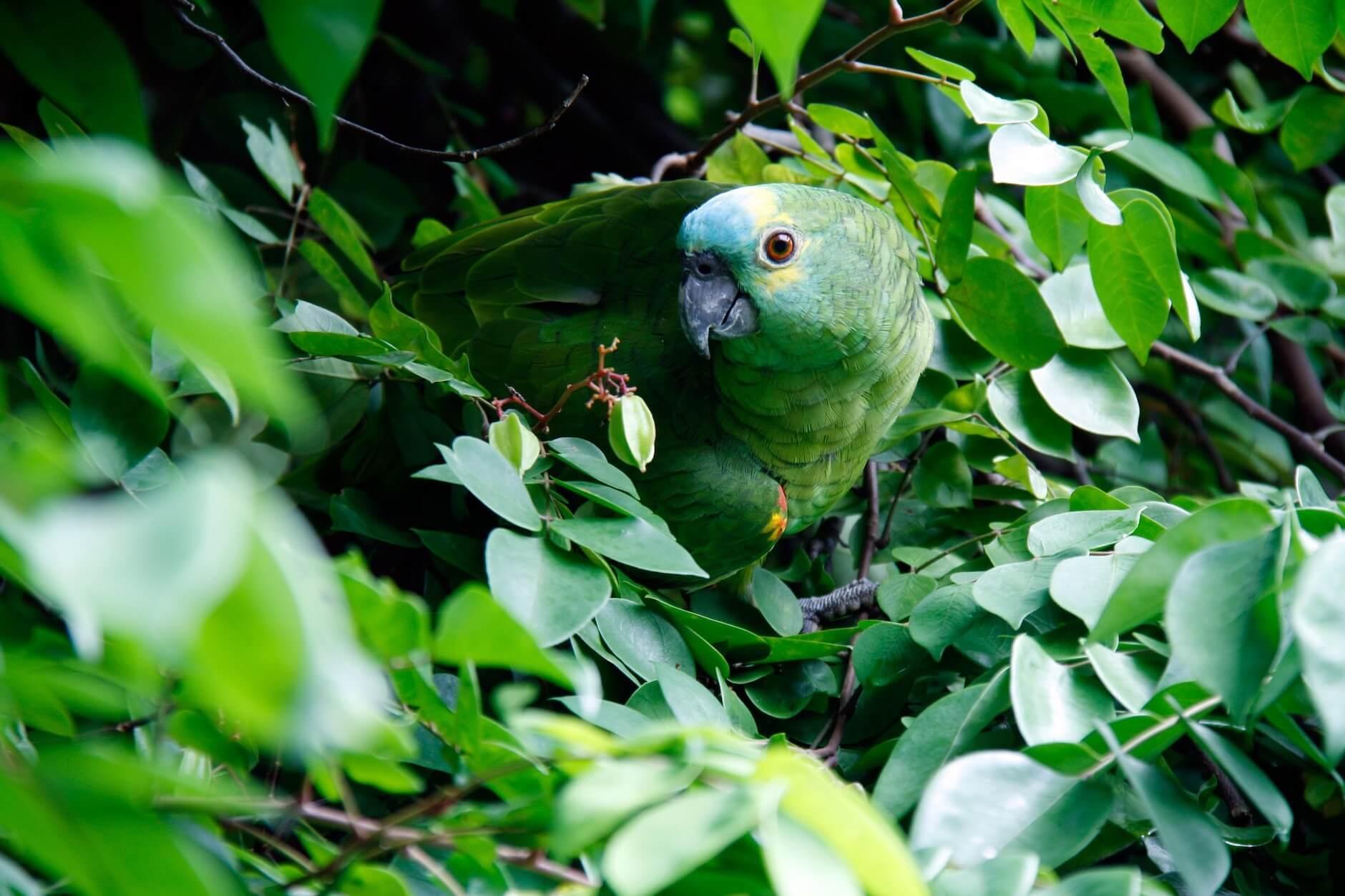 aves exóticas Costa Rica