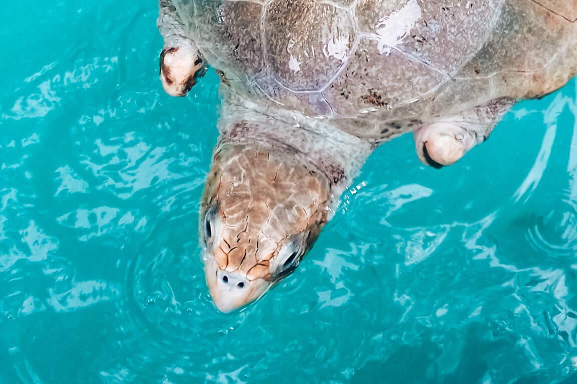 Uma das tartarugas marinhas do Parque Marino del Pacífico © lavidaesmara